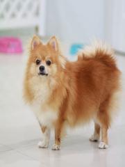 Pomeranian Dog Breed Info