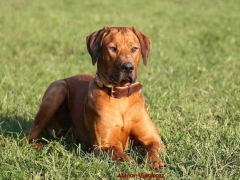 Rhodesian Ridgeback Breed