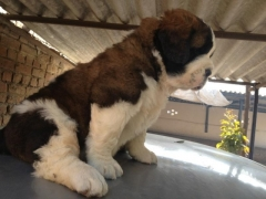 st bearnard puppy for sale in bangalore