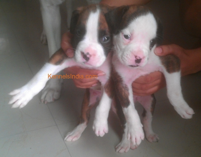 Boxer Puppies Male And Female For Sale In Uttam Nagar Delhi