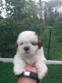 SHIH TZU PUPPIES AVAILABLE!