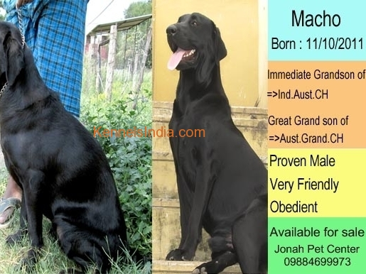Adult Labrador dogs for sale in chennai - Combo offer