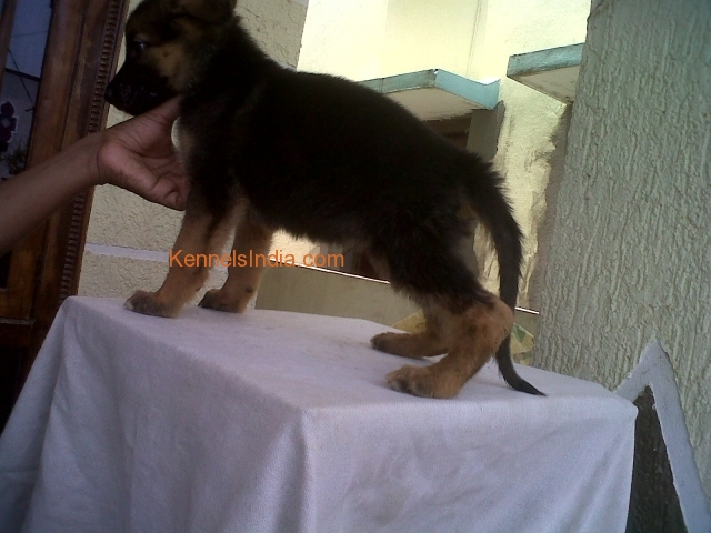 Top show quality puppies for sale in Balapur hydeabad