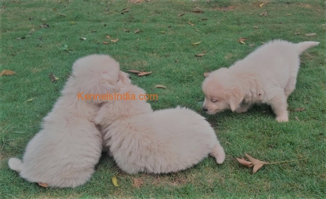 Golden retriever puppies for sale in Chennai