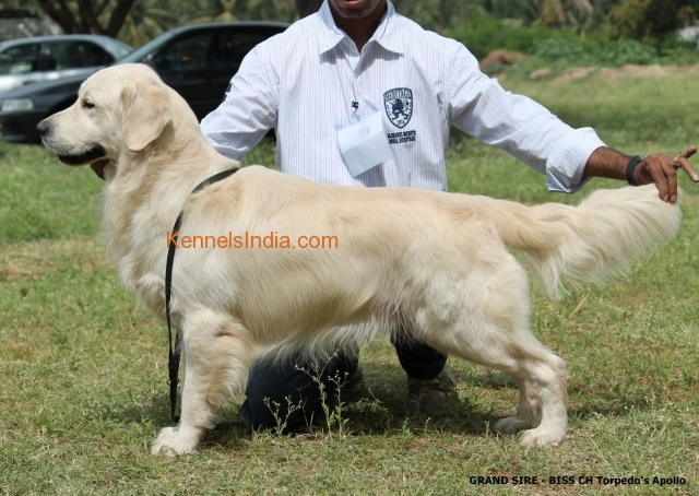 Show Quality Golden Retriewers puppies Available in Mysore Karnataka