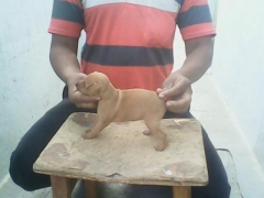 Best quality mini pinscher female puppy for sale
