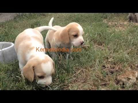 Rare color Beagle puppies available in Bangalore