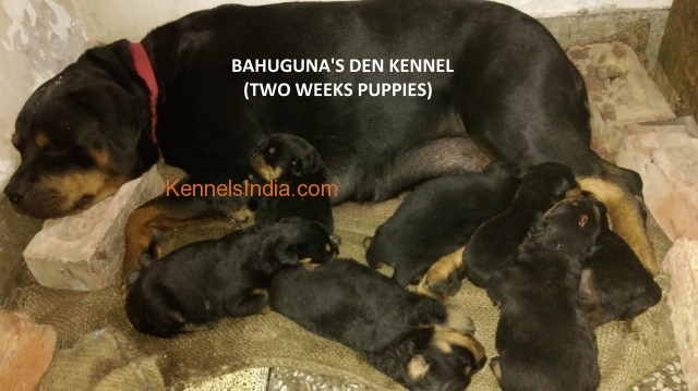 ROTT PUPPY FOR SALE IN DELHI BAHUGUNAS DEN KENNEL