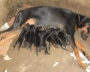 Dobermann Puppies For Sale at New Delhi