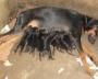 Dobermann Puppies For Sale at New Delhi