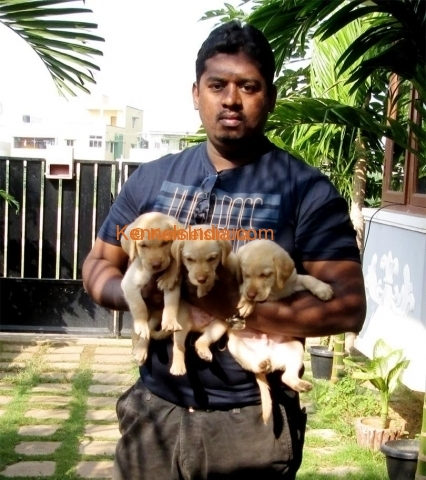 \tLabrador puppies for sale in chennai