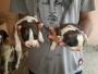 saint bernard puppy at Roorkee