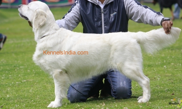 Appealing Pure English Golden Retriever Available In Bangalore