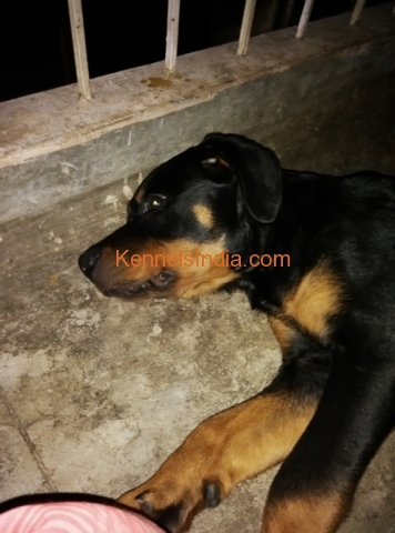 Female Rottweiler puppy vaccinated large-boned active in bangalore