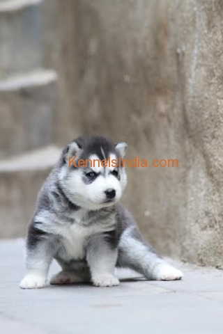 Siberian Husky Show Quality Puppies for Sale in bangalore