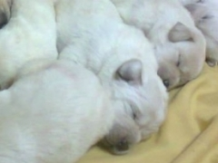 Canadian Labrador puppies available at hyderabad