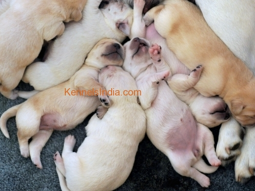 Lab puppies for Sale in Salem Tamilnadu