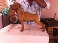 minpin pup for sale very good blood line with papper