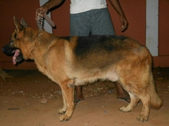 Adult German shepherd male for sale at Madurai