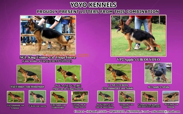 SHOW QUALITY GSD PUPPY AVAILABLE in coimbatore