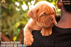 TOP QUALITY FRENCH MASTIFF PUPS FOR SALE in Bhopal