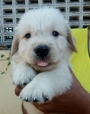 Golden retriever studd puppy for sale in chennai