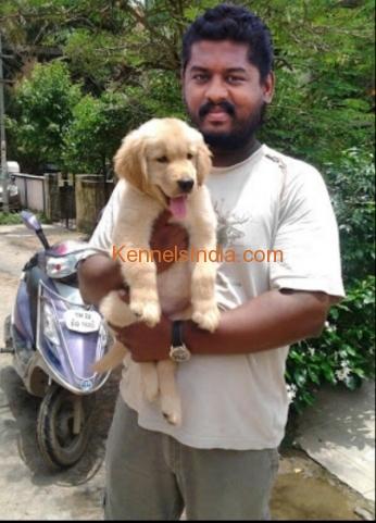 Golden retriever studd puppy for sale in chennai