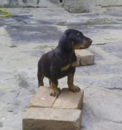 KCI Certified Doberman puppies for sale in chennai tamilnadu