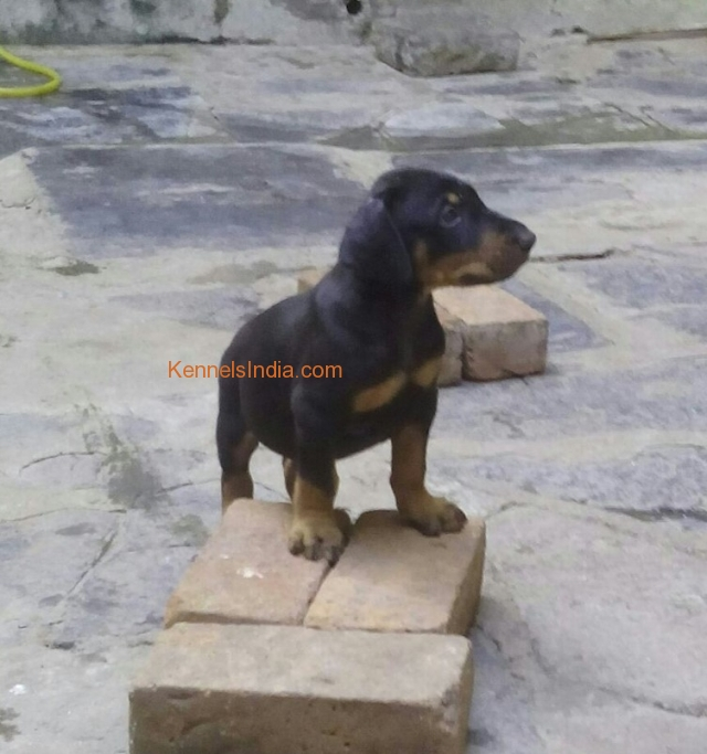 Kci Certified Doberman Puppies For Sale In Chennai Tamilnadu