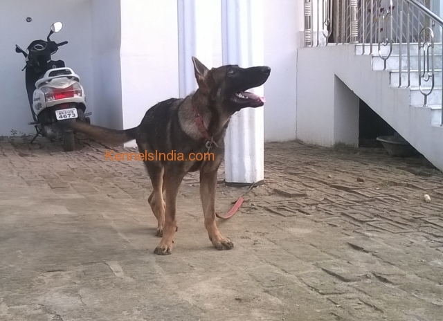 DDR GSD 6months old