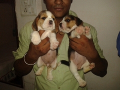 beagle male puppise for sell in delhi