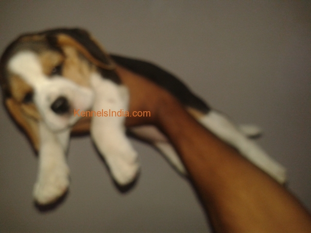 beagle male puppies for sale