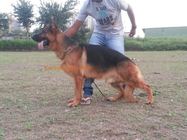 Imported German Shepherd Male Puppies available in Mumbai
