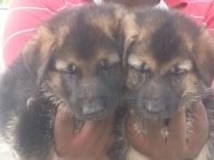 German Shepherd puppy for sale in Coimbatore Tamilnadu