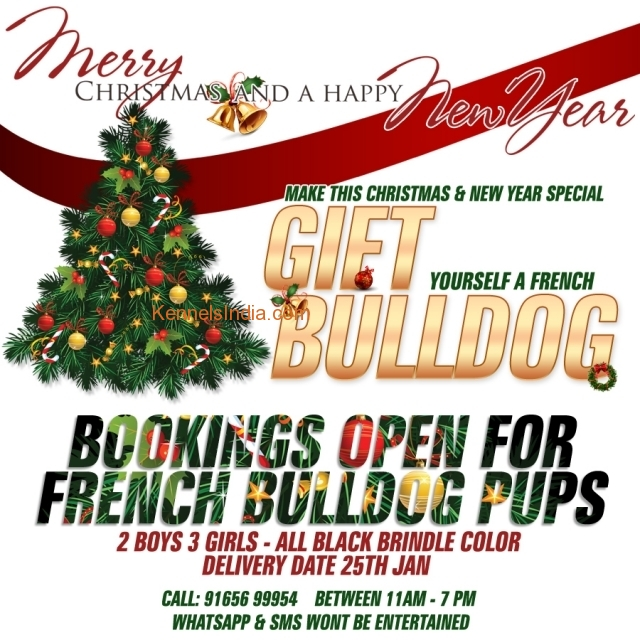Best Quality French Bulldog pups available in Bhopal