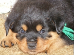 Rottweiler Puppies, Premium quality KCI registered, for sale.