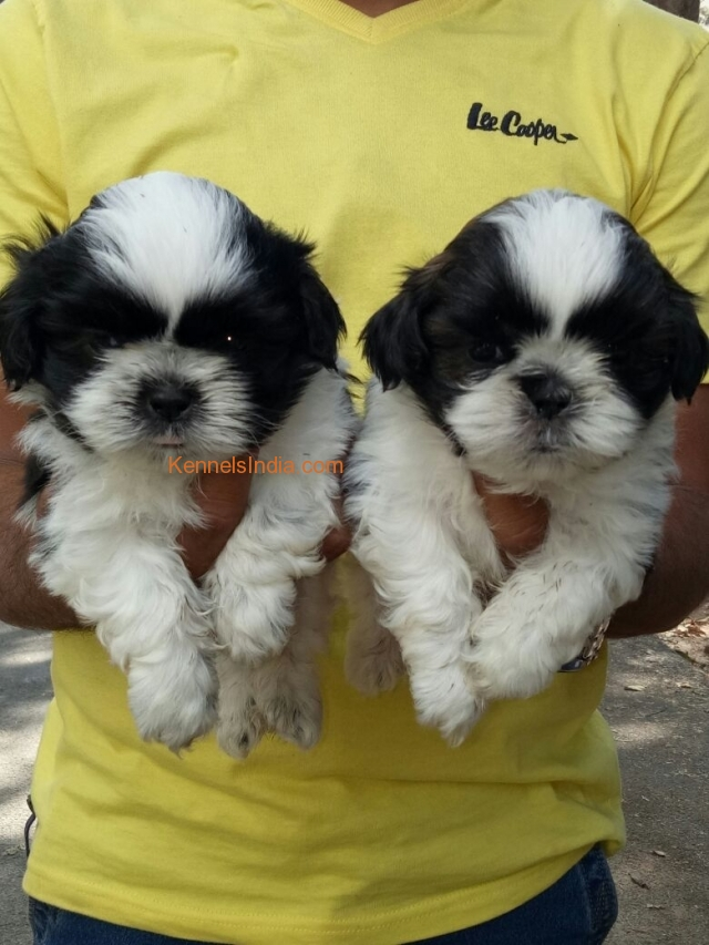 Shih tzu male and female puppys for sale in Hyderabad