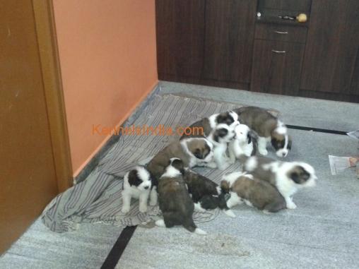 saint bernard dog price in bangalore dating