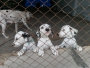 40 days old Dalmatian puppies for sale