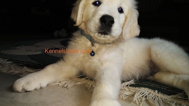 2 Months Old Golden Retriever Puppies For Sale In Bangalore
