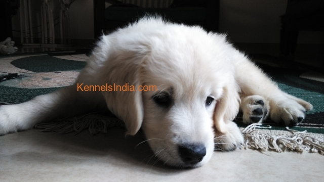 Beagle Dog Puppies For Sale In Bangalore