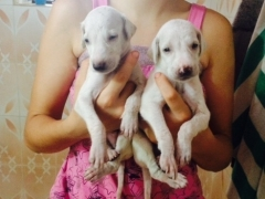 Mudhol Hound Puppies