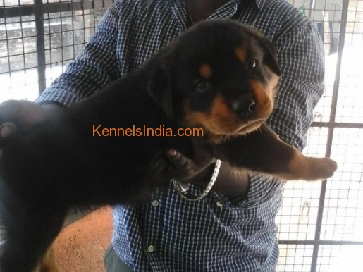 show quality rottwiler puppy for sale at porur chennai