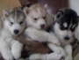SIBERIAN HUSKY pups for sale in delhi