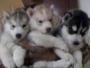 SIBERIAN HUSKY pups for sale in delhi