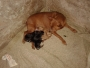Champion Miniature Pinscher Mother With Puppy.