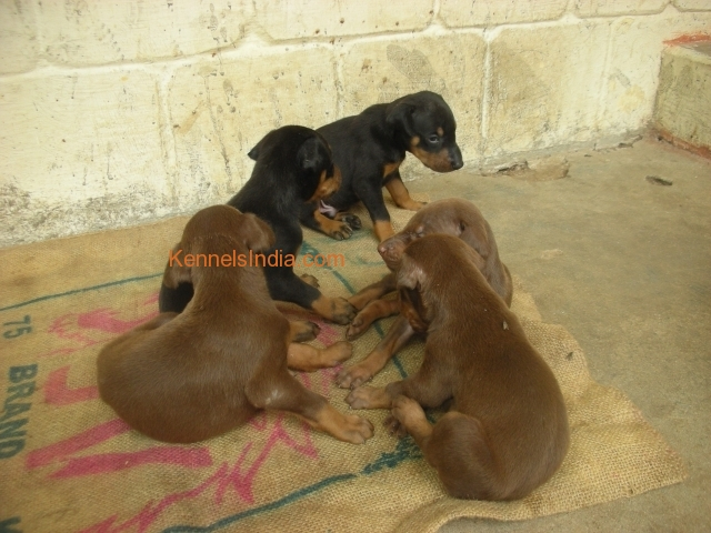 Dobermann Puppies sale with Good lineage Rs 5500 at chennai