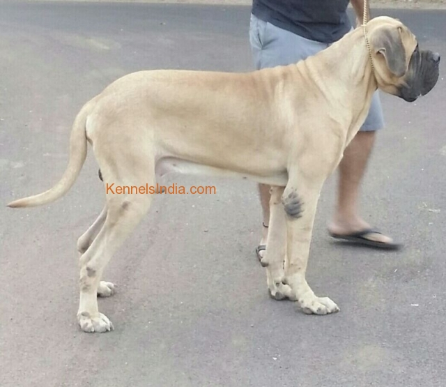 14 months old english mastiff for sale at Goa