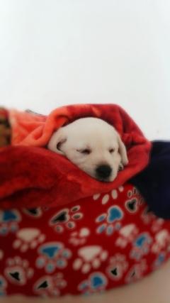 Labrador male and female available in New Delhi