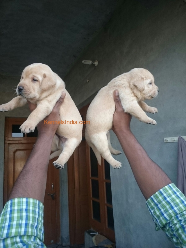 Labrador male and female available in New Delhi